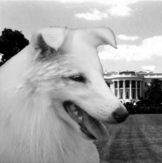 dog canine puppy sheltland sheepdog collie calamity jane president white house