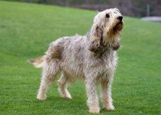 otterhound dog extinction vulnerable pet british ban