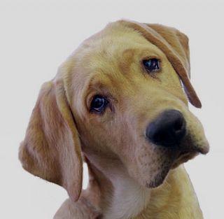 dog pet canine head tilt shape muzzle communication human bond gaze voice