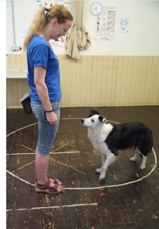 dog pet canine attention selective person bond human animal border collie