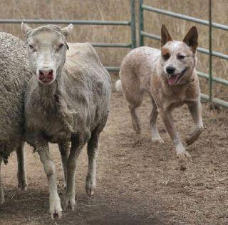 dog canine working cattle dog goat training learning
