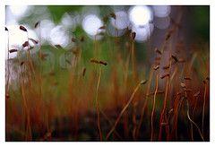 Bryphophyta (Spores)