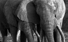 Elephant society