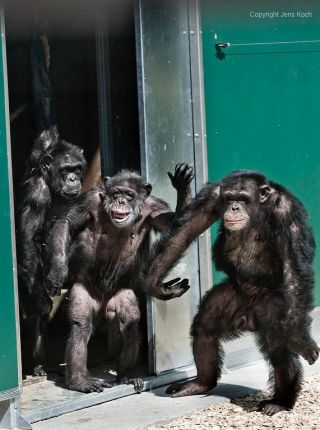 Chimpanzees released into santuary