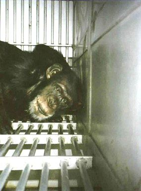Chimp in cage.