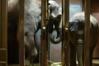Elephants behind bars