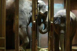 Elephants behind bars