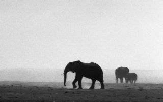 Elephants on wide plain.