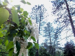 Lilacs and pines 1