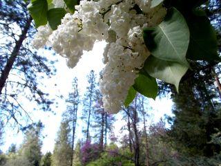 Lilacs and pines 2
