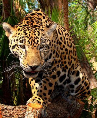 Jaguar, South America