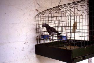 Caged bird.
