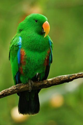 Eclectus parrot.