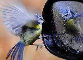 bird attacking mirror
