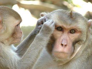 Rhesus monkies