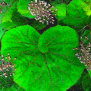 butterbur for seasonal allergy