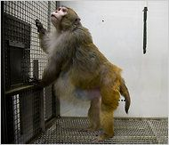 A research monkey in captivity at twice its normal weight