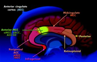 Anterior Cingulate Cortex and Ventral Striatum