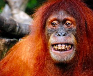 Orangutan culture transmitted by ideas