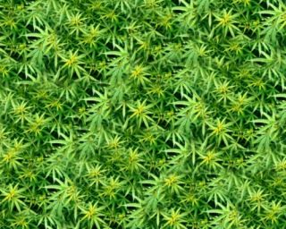 Fields of Marijuana