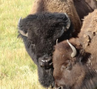 Bison, Yellowstone, wildlife, danger, warnings, stupidity