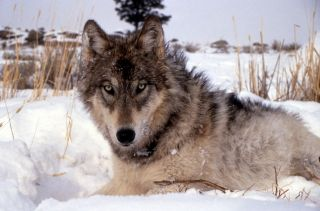 The gray wolf was once the most widespread carnivore in the world.