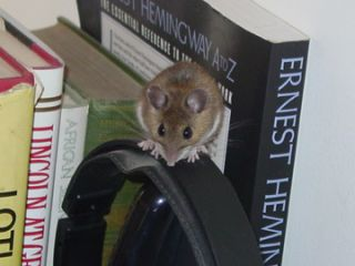 a house mouse.