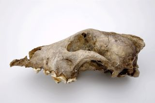 The skull of the ancient dog from Goyet Cave, Belgium