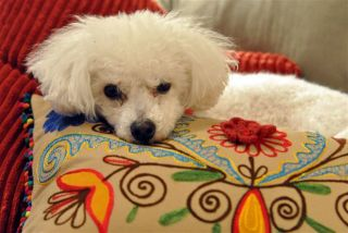 Larry the Bichon resting comfortably
