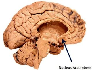 The neuroscience of pleasure and addiction psychology today source ccuart Images