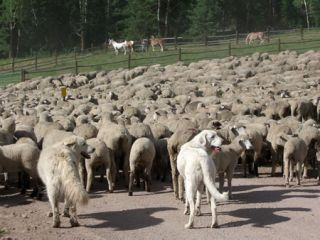 Livestock protection dogs watch over their flock.