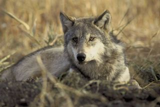 A gray wolf takes a break lying in the  grass.