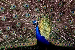 'Peacock/Brendan Spragg'