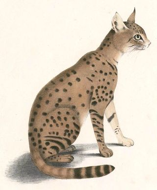 Felis ornata. Wikimedia Commons