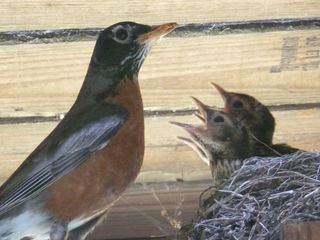 Robin With Young in Nest photograph copyright © 2017 by Susan Hooper