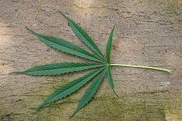 Wikimedia Commons/Cannabis Sativa by Rotational/Public Domain