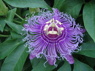 Passionflower By Wikijasha (Own work) [Public domain], via Wikimedia Commons