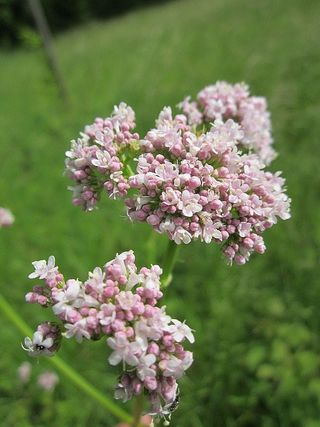 Valerian By AnRo0002 (Own work) [CC0], via Wikimedia Commons