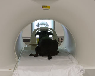 Dr. Berns' dog Callie in a scanner watching faces and different objects. Courtesy of Gregory Berns