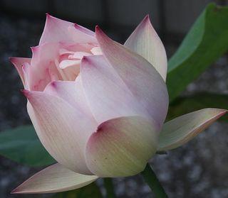 Pink Lotus Blossom/ by Frank Baldessari/ Creative Commons Attribution-ShareAlike License on Wikimedia Commons