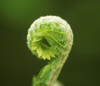 Fiddlehead fern; in public domain per U.S. Fish and Wildlife Service copyright policy