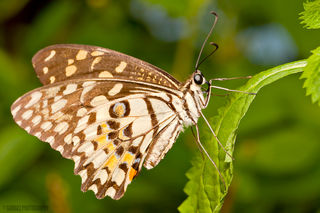 """""""Lime Butterfly""""/giovzaid85/CC BY 2.0"""