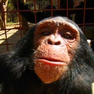 """""""Chimpanzee_selfie"""" by Frontierofficial/CC by 2.0"""
