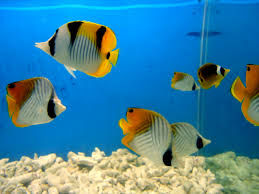 """Yellow Aquarium Fish,"" by Ranjithsiji/Commons.wikimedia"