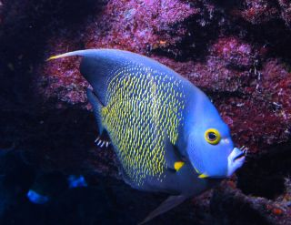Pomacanthus paru (French angelfish) by Albert Kok / Wikimedia Commons / CC-BY-SA-2.5