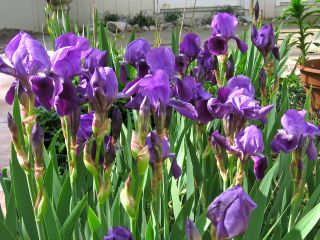 Anthroposophical Iris Garden of author