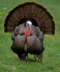 """""""Wild Turkey During Mating Season,"""" by Riki7, en.wikipedia.org"""