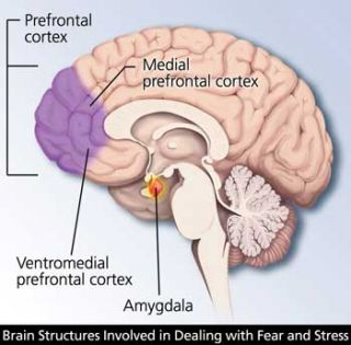 Image result for amygdala frontal lobe