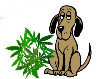 dog canine pet drug therapy marijuana cannabis pot toxic