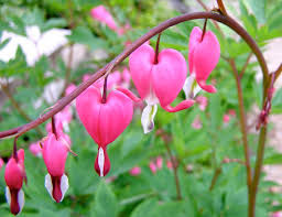 Bleeding hearts, wikicommons.org